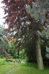 dominanta-zahrady-cervenolisty-buk.jpg